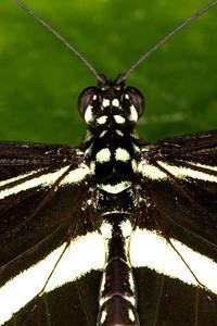 Zebra Longwing Butterfly, Heliconius charitonia (Closeup)