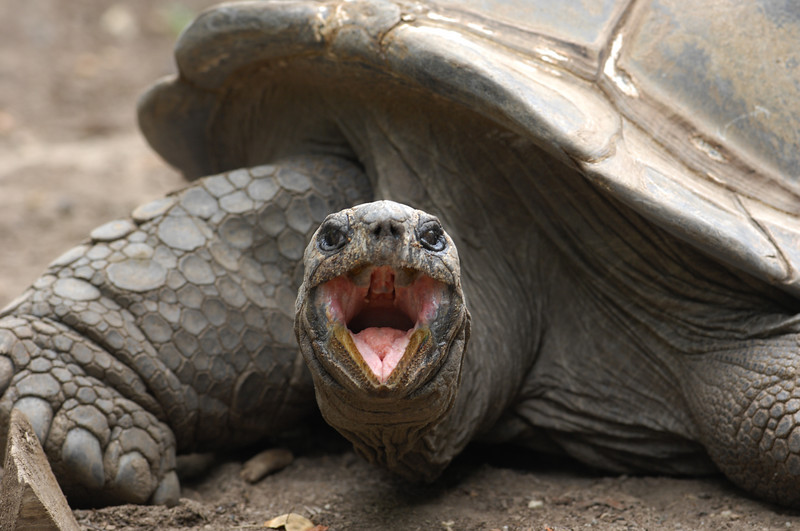Galapagos Tortoise, male with attitude