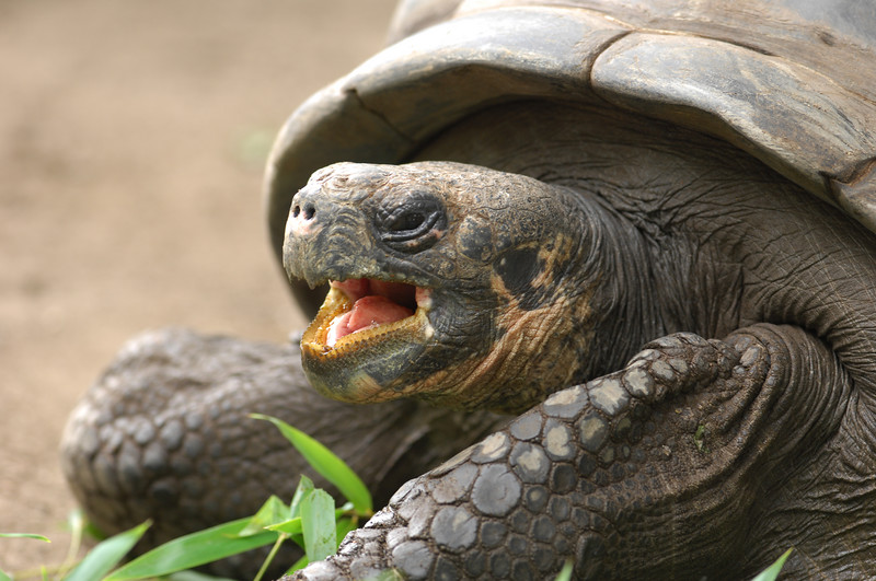 Galapagos Tortoise, female with lunch