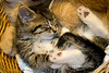 Nap-Kitten