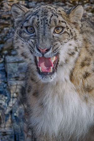 Snow Leopard with an Attitude