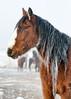 Frosty Wild Horse