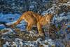 Jaxon, juvenile Mountain Lion