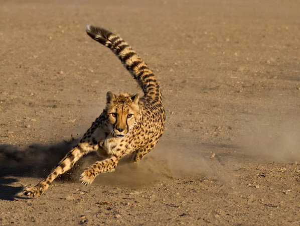 Cheetah Pursuing Lure
