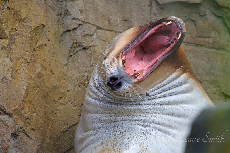 The Roar of the Sea Lion