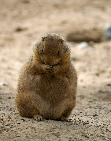 Prairie Dog Prayers