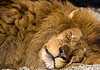 The Lion Sleeps...