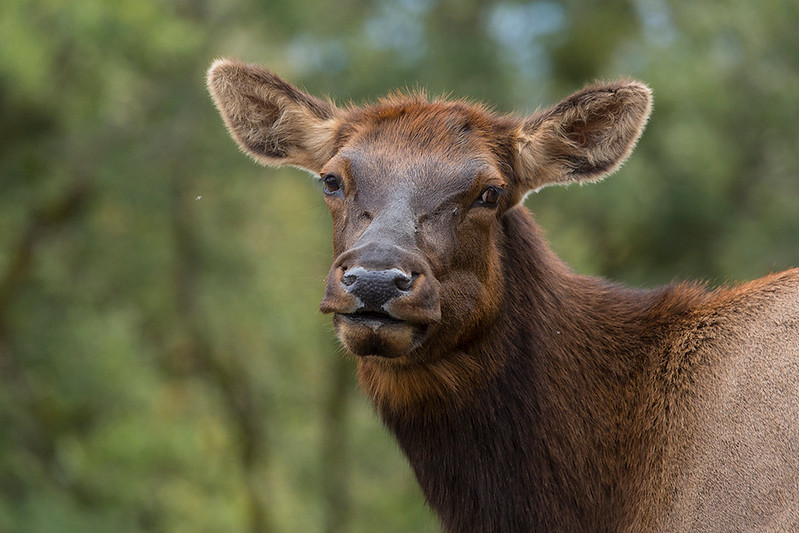 Elk Kisses