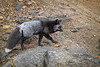 Mt. Rainier's Resident Fox