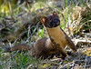 Wiley Weasel