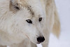 The Eyes of the White Wolf