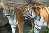 Tiger Chorus