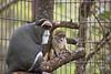 Baby DeBrazza's Monkey