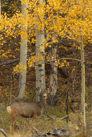 Mule Deer and Quaking Aspen, Medano Pass