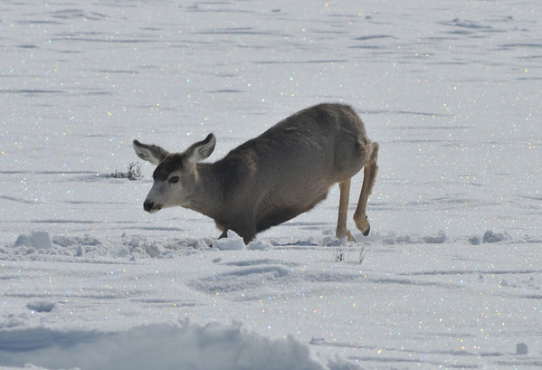 Jump!<br /> Deer, Blue Mesa Reservoir, Gunnison, Colorado<br /> More of those awesome sparkles!