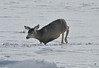 Jump!<br /> Deer, Blue Mesa Reservoir, Gunnison, Colorado<br /> More of those awesome sparkles!