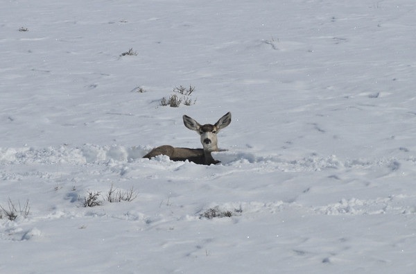 Relax<br /> Mule Deer, Blue Mesa Reservoir, Gunnison, Colorado
