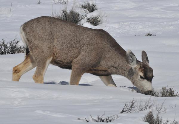 Yum!<br /> Mule Deer, Blue Mesa Reservoir, Gunnison, Colorado