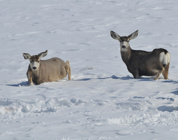 Deep Stuff!<br /> Mule Deer, Blue Mesa Reservoir, Gunnison, Colorado