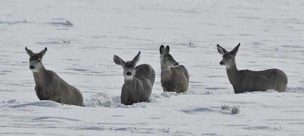 Single File<br /> Mule Deer, Blue Mesa Reservoir, Gunnison, Colorado