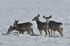 Mule Deer, Blue Mesa Reservoir, Gunnison, Colorado
