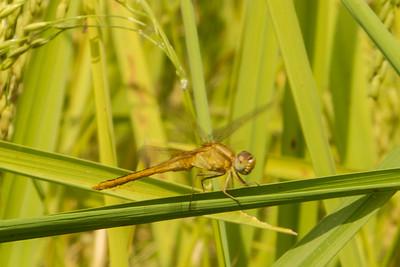 Dragonfly Resting on Rice Stalk