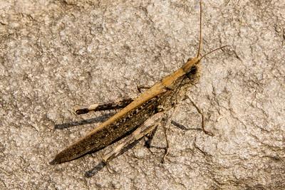 Camouflaged Grasshopper