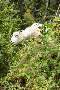 Tree Climbing Goat?