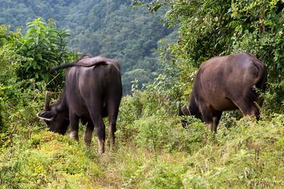 Water Buffalo Butts