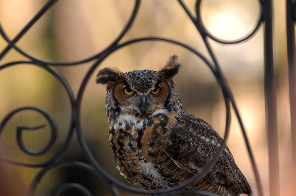 Owl at the gate