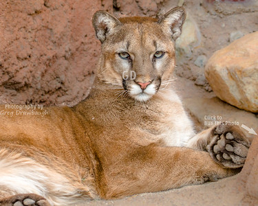 Magestic Mountain Lion