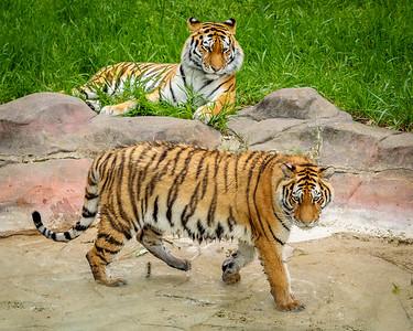 Amur Tigers