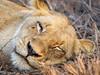 Lion Mom Takes a Nap