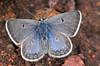 Greenish Blue (Plebejus saepiolus)