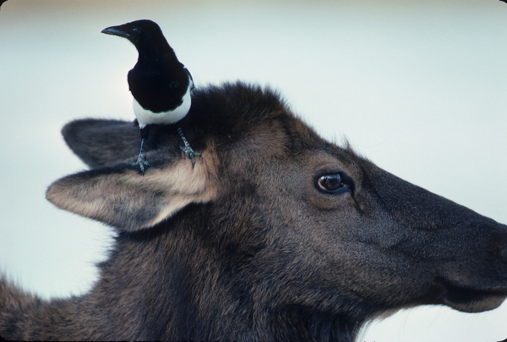 Elk cow with magpie