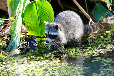 Raccoon in swamp