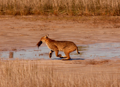 Bobcat with Muskrat