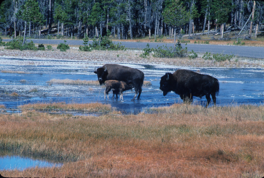 Bison in river with calf