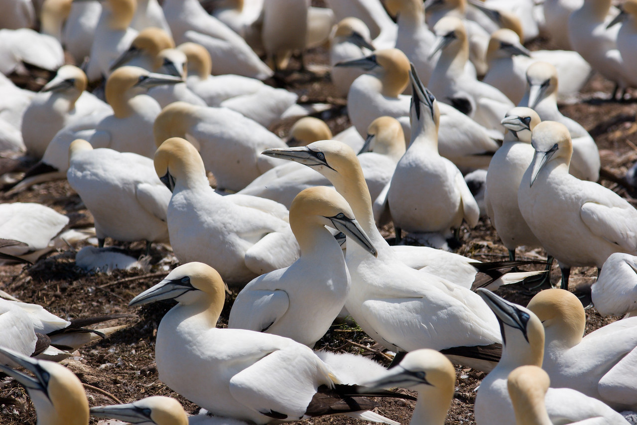 Gannet Colony
