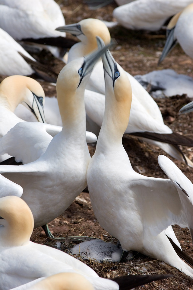Gannets - Lets Neck!
