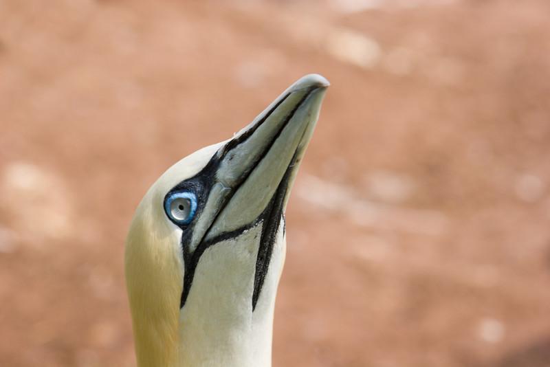 Gannet Head Closeup