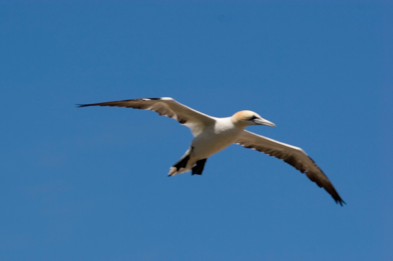 The Northern Gannet (Morus bassanus) is a goose-sized member of the Booby family.  It is a long-winged bird, with a five to six foot wingspan, and is about 35 to 40 inches in length.  It plunges spectacularly into the sea, from heights of 60 to 90 feet, in pursuit of fish.  It often uses its large feet to propel itself back out of the water and into flight, with its catch.