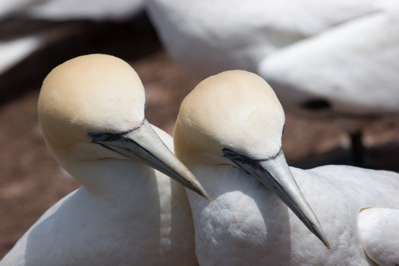 Young Gannet Pair