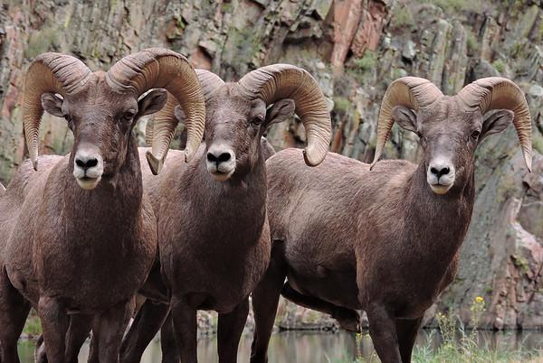 Herd any goat jokes lately?