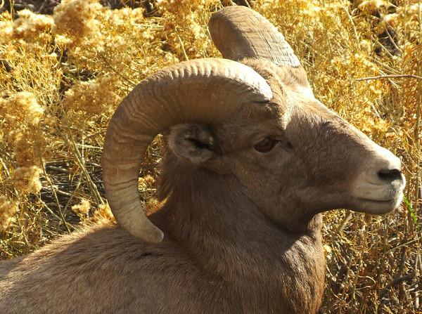 Autumn Bighorn