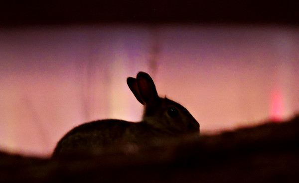 bunny sunset