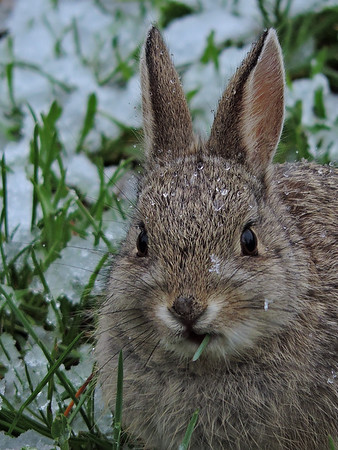 baby bunny in the spring snow