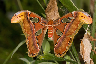 Atlas Moth, Attacus atlas