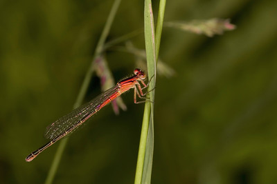 Eastern Red Damselfly