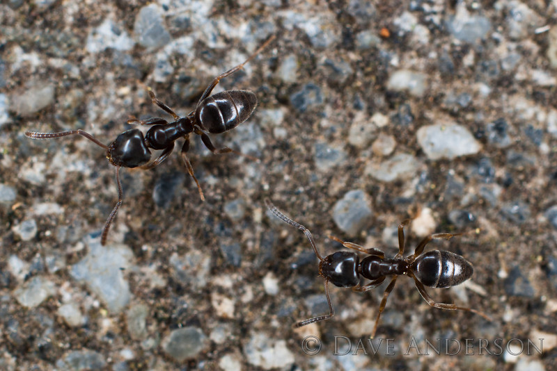 """<i>Tapinoma Sessile Dolichodorinae</i> also known as """"Odorous House Ant"""".  Playing with the Minolta 1x-3x Macro. Ants at 3x, lit with ringflash(3 tubes of 4 active)"""